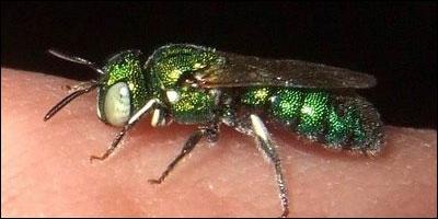 parasito-avispa-esmeralda-01
