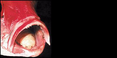 parasito-lengua-pez